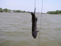 Feshwater stingray fishing in Thailand on the Mae Klong River