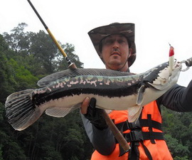 Giant snakehead fishing in Malaysia at Temenggor Dam